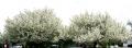 Pear Trees in Bloom
