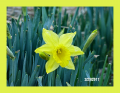 Early daffodil 2/23/2017