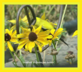 Goldfinch Among Black Eyed Susans
